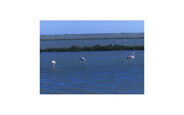 Pink flamingos in the Rhône delta, Camargue country park